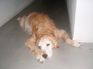 sad dog hip joint pain